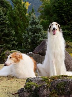 Two Borzois #animals #dogs