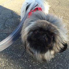 """""""う〜ん…おかしいな?アラビア語の知らない人達がタグ付けしてる。 #犬#ペキニーズ#ペキスタグラム#ペキニーズフォーン#dog #peke #pekingese #pekestagram #pekistagram"""""""