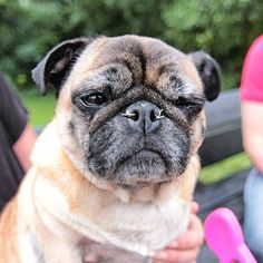 Annie the pug. You can see the stitches in her nose from the surgery.