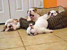 Bulldoggen                                                                                                                                                                                 Mehr