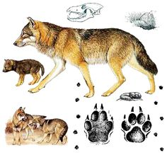 Grey wolf, Canis lupus, What does it look like? Wolf Love, Gray Wolf, Eurasian Wolf, All About Wolves, Safari, Nature Sketch, Wolf Stuff, Wild Dogs, Viajes