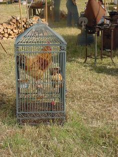 Chickens at Civil War reenactment