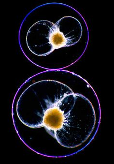 Dinoflagellate species are morphologically diverse and come in an assortment of complex forms, including various intricate organelles. One such complex organelle is called a scintillon, found in 18 genera of Dinoflagellates and is central to the reaction causing light emission.