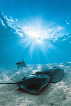 A meeting of a zippy blacktip reef shark and two rays at Stingray World off Moorea, French Polynesia ✯ ωнιмѕу ѕαη∂у