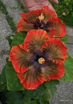 Hibiscus                                                                                                                                                                                 Mais