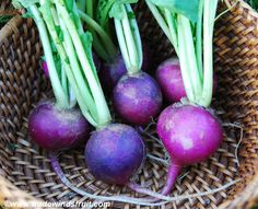 Trade Winds Fruit - Purple Plum Radish, $2.00 (http://www.tradewindsfruit.com/purple-plum-radish-seeds/)