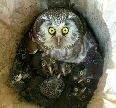 Owl with owlettes.