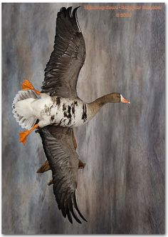 ... goose, specklebelly goose taxidermy, goose taxidermy, waterfowl