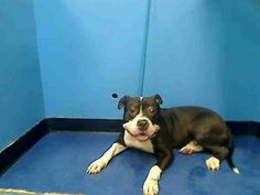 """TO BE DESTROYED - 11/21/13  Manhattan Center    My name is ASTRO. My Animal ID # is A0985037.  I am a male black and white pit bull mix. The shelter thinks I am about 2 YEARS    I came in the shelter as a STRAY on 11/15/2013  This baby may have never known much care or love in his life. At 2 years he's still a """"puppy"""" & needs someone to help him learn """"positive puppy"""" behavior & social skills.  How big is you heart tonight?"""