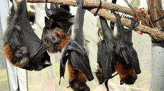 Flying foxes are in the sights of landholders issued with permits to kill.  Picture Mike Batterham Source: News Limited