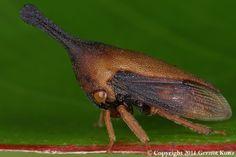 treehopper: Aconophorini