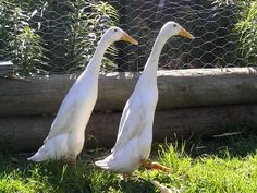 Love them...they walk upright! Runner ducks. Great for the garden.