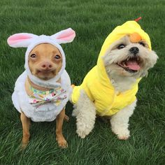 "42k Likes, 507 Comments - Tuna {breed:chiweenie} (@tunameltsmyheart) on Instagram: ""He recruited an Easter chicken helper to make up for the lost time on filling the Easter baskets…"""
