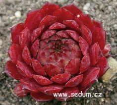 Sempervivum 'Bedivere'