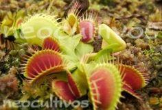 Plantas Carnivoras Venus Atrapamoscas - Tn°1 - Neocultivos - $ 35,00