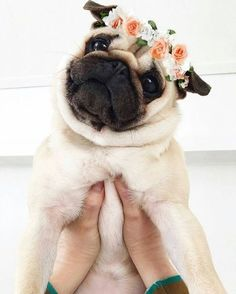 Do you have a Pug? What is your Pugs name? Here are 30 pugs with great names! Pug Love, I Love Dogs, Funny Animals, Cute Animals, Baby Animals, Pugs And Kisses, Pug Pictures, Pug Photos, Pug Puppies