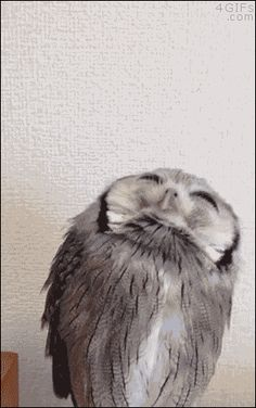 "Please play: ""Gif"" to enjoy the uniqueness of this adorable Owl..."