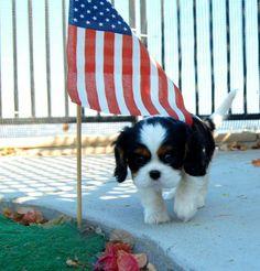 cavalier king charles american flag