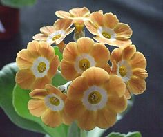 'Bow Street' Auricula [Family: Primulaceae]; Shown and Photographed by Henry Pugh