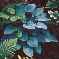 Hosta 'Bressingham Blue'  Plantain Lily