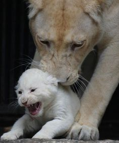 ★* ok I promise I won't do it again mom lol Wild Lion, Wild Tiger, Nature Animals, Baby Animals, Cute Animals, Big Cats, Cute Cats, Planeta Animal, Beautiful Wolves