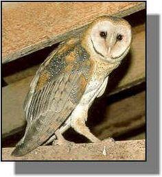 Owls in Kansas