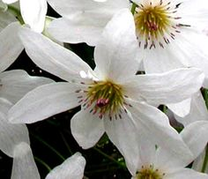 Clematis paniculata.  There is confusion between C. paniculata and C. terniflora.  C. paniculata is native to NZ and C. terniflora native to Japan.  C. paniculata flowers April-May up to 2m and evergreen.  Minimal pruning and a delicate scent but ensure you get the right one.