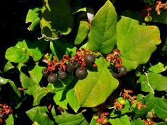 Edible plants of pacific northwest coast