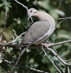 Image from http://birdswesee.com/http://chrisndebbie.com/wp-content/uploads/2012/03/Dove-White-Winged.7.jpg.