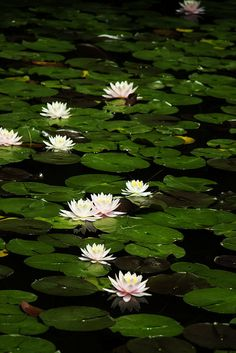 """Memories of lily pads are a favorite thing from growing up on a lake. """"Water Lilies"""" ~ Photography by * Yumi * Water Lilies Painting, Lotus Pond, Lily Pond, Water Flowers, Lotus Flowers, Aquatic Plants, Water Garden, Belle Photo, Botanical Gardens"""