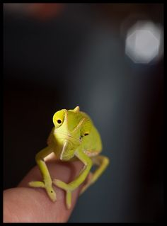 Baby Veiled Chameleon by Jcscoob, via Flickr