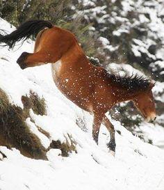 Kaimanawa horse (Kelly Wilson) Horses In Snow, Wild Horses, All The Pretty Horses, Beautiful Horses, All Horse Breeds, All About Horses, Horse World, Horse Photos, Zebras