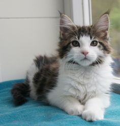 Black Classic Tabby White Bicolor Maine Coon |     La Lau's Cup of Coffee - n 03 22 - dob: 2013-10-24