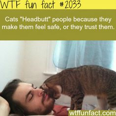 """Why Cats """"Headbutt"""" people - WTF fun facts .this is good to know since my cats do this all the time! I Love Cats, Cute Cats, Funny Cats, Funny Animals, Cute Animals, Animal Facts, Cat Facts, Crazy Cat Lady, Crazy Cats"""