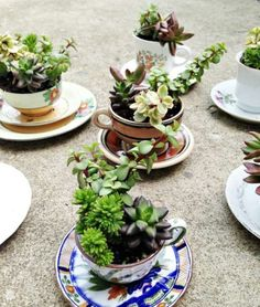 Succulent Plants ~ Tea Cup