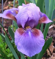 SDB Iris germanica 'Pansy Top' (Hamblen, 1970)