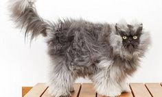 World's Longest Cat Fur Goes to Colonel Meow