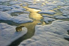 SCIENTISTS investigating the causes of global warming have shockingly claimed climate change may have been caused by the evolution of marine wildlife more than 500 million years ago. Climate Change Debate, Climate Change Effects, Albedo, National Geographic, Polar Bear On Ice, Polar Bears, Teddy Bears, What Is Climate, Ocean Rocks