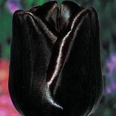 Queen of Night Tulip