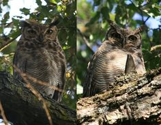 The Lesser Horned Owl or Magellanic Horned Owl (Bubo magellanicus)