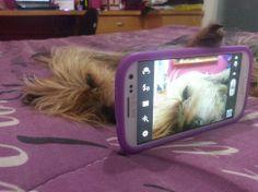 Meu Cachorro - Minha Paixão - Amor - Willy Joe - Yorkie - Yorkshire - Selfie. Foto de Fabiana Pardini.