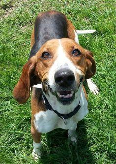 07/31/14 sl ~Abigail SPONSORED~ Treeing Walker Coonhound • Adult • Female • Medium Columbiana County Dog Pound & Adoption Center Lisbon, OH