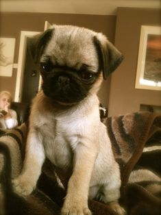 Baby pug climbs the treacherous couch mountain