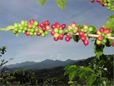 Coffee beans growing in PR.