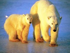 Sunrise on Mother Polar Bear and Cub on Sea Ice-Photo 29 - http://1sun4all.com/clean-energy-infographics/sunrise-on-mother-polar-bear-and-cub-on-sea-ice-photo/