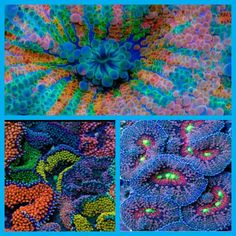 Ricordea Florida corals are some of the most colorful corals available in the industry. They add a diversity of both color and texture to the saltwater reef aquarium. This variety is mostly blue in color with shades of pink, purple and yellow. The colors of these corals are further intensified under fluorescent actinic lighting. (y) Like Us On Facebook