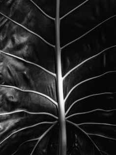 Leaf by Brett Weston Photographic Print by Brett Weston at Art.com