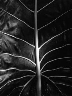 Leaf by Brett Weston Photographic Print by Brett Weston at Art.com