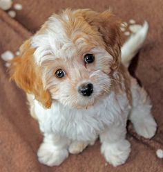 cavapoo full grown black and white Google Search Pup