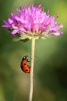 Ladybug, Boza Cucek